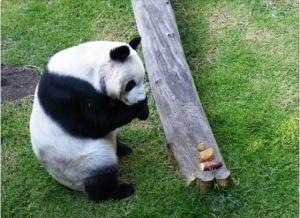 panda_resulta_xin_hua