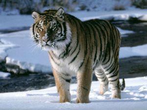 tigre_curiosidad1