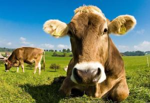 vaca-cuernos--644x444